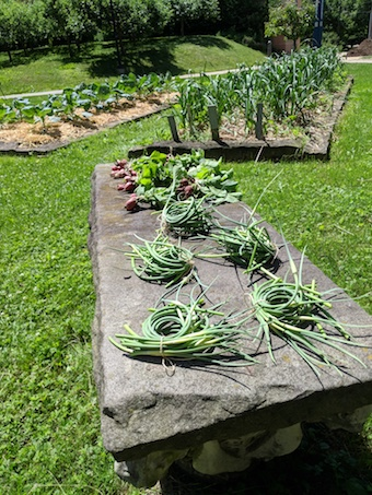 Garlic Scapes and radishes from the AJLC Organic Garden