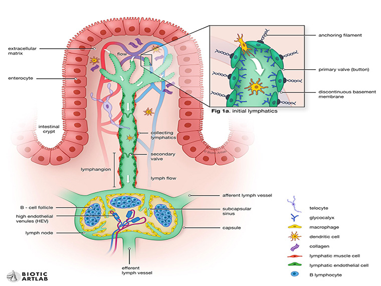 A medical illustration of the lymphatic system.