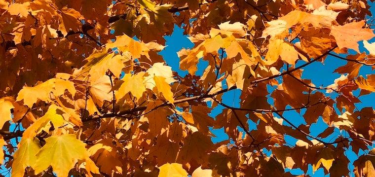 orange tree leaves in autumn in Oberlin