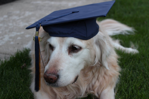 A dog wearing a graduation cap