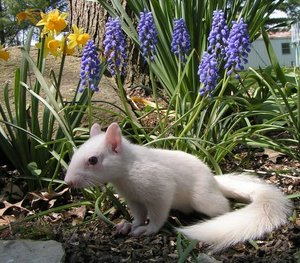 An albino squirrel amidst flowers
