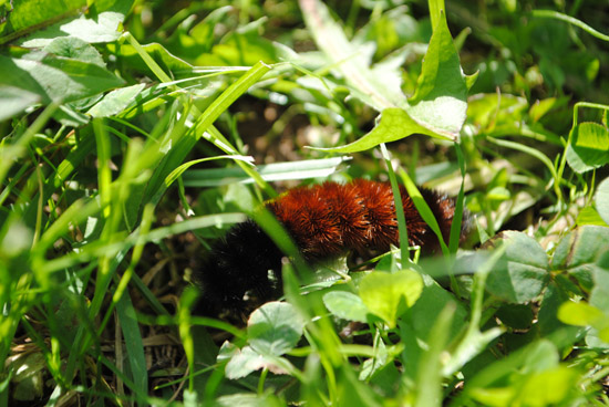 Auburn caterpillar in green gras
