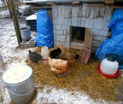 A group of chickens on straw filled ground. It appears to be winter as there is snow sprinkled everywhere
