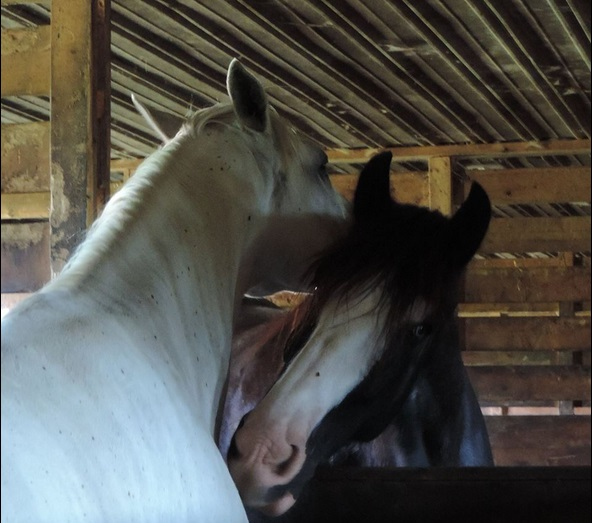 Two horses in a barn