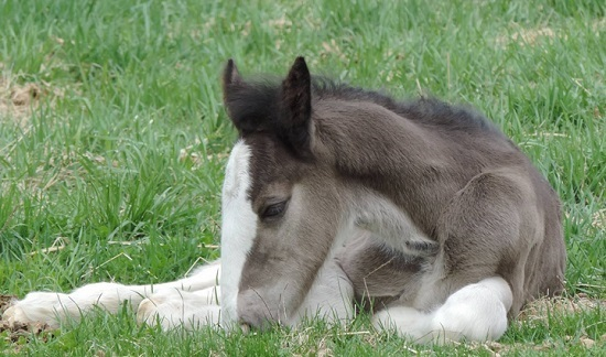 A foal lays in the grass