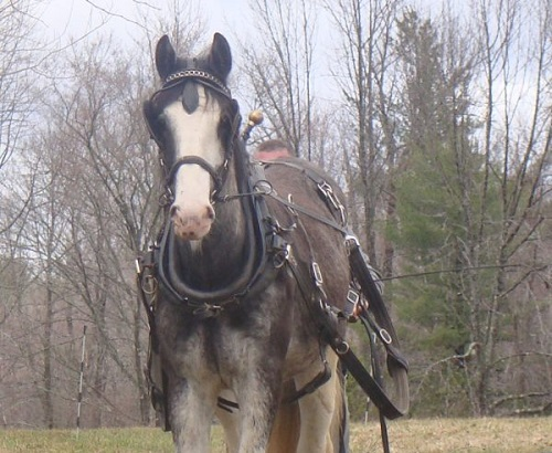 Horse wearing a harness