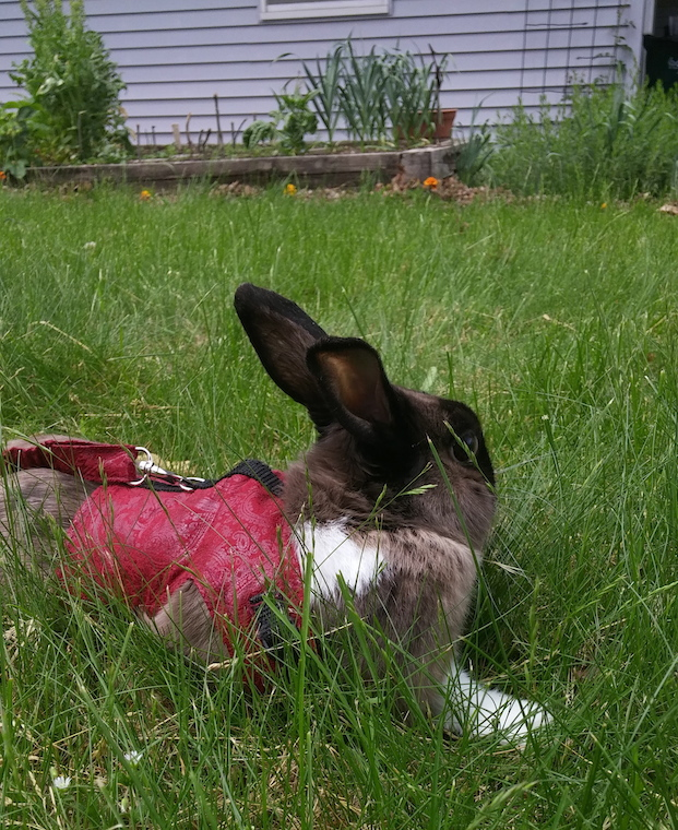 A rabbit sits in the grass, wearing a harness