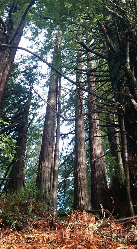 A view of redwood trees, close to the ground tilted up