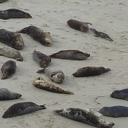 A group of seals basking on the sandy beach
