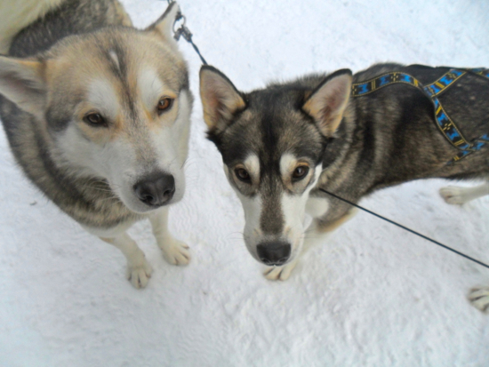 Two huskies look up at the camera