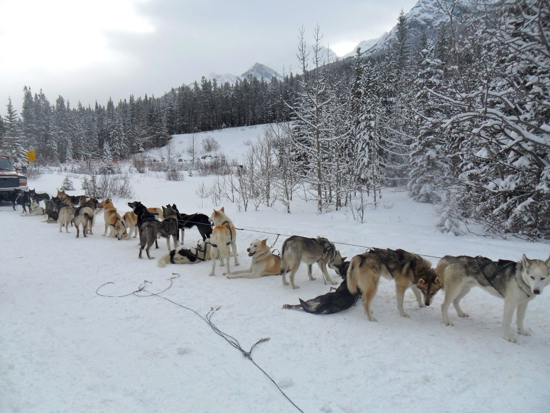 A long line of huskies tied up