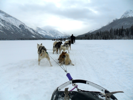 A view of the huskies resting from the viewpoint of the sledder