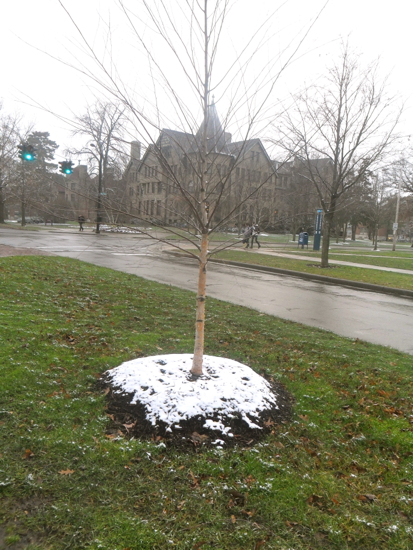 A small, young tree with a small patch of snow at its roots