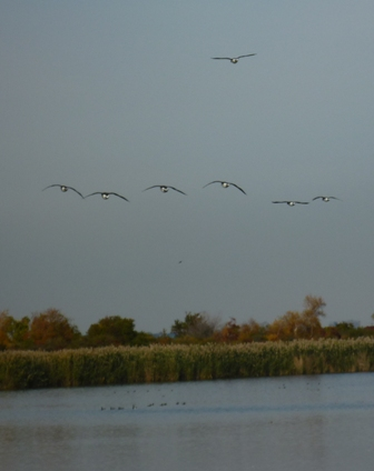 geese fly above the water