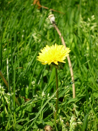 A dandelion in the grass