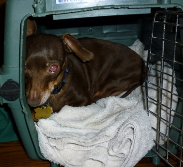 A small brown dog in a kennel
