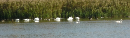 Swans sitting in the water