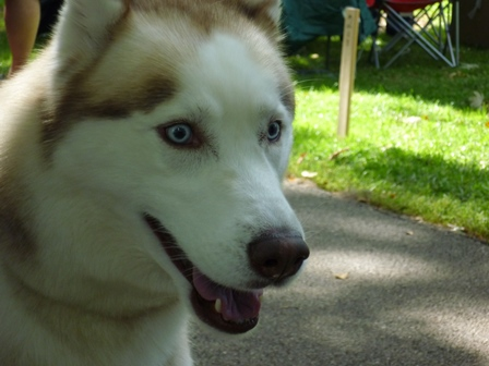 The face of an Alaskan Huskie or similar breed