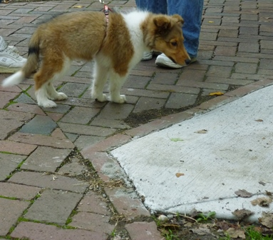 A puppy, possible a Collie, on the brick path in Tappan Square