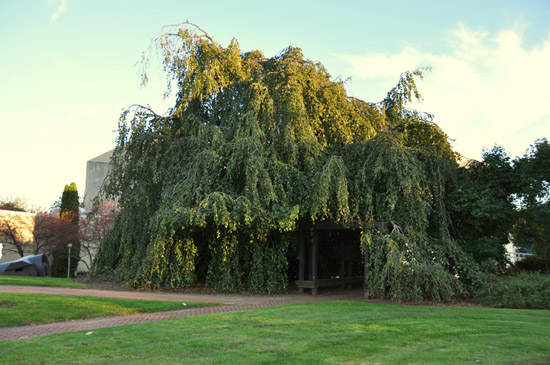 A giant tree full of leaves. Its branches fall all the way to the ground and create a cave propped up by a wooden gazebo