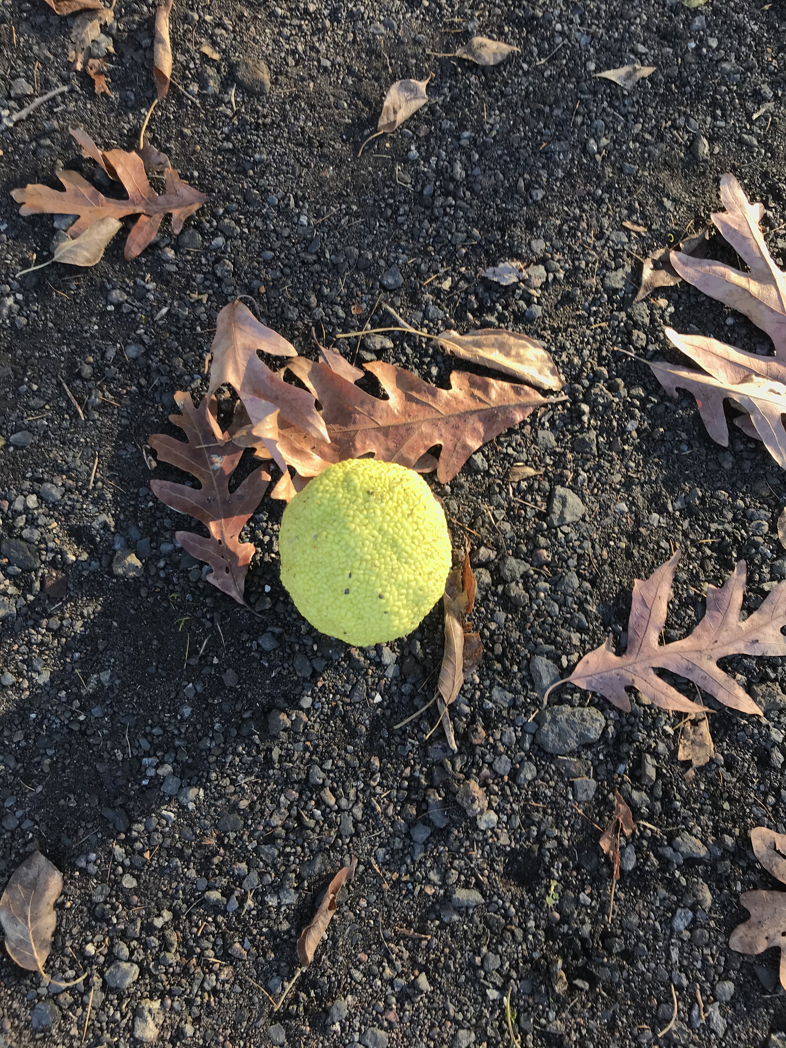 osage (monkey brain) orange fallen on the ground.