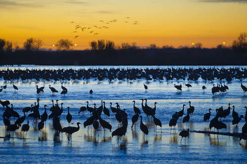 Cranes in Western Nebraska at sunset in a river