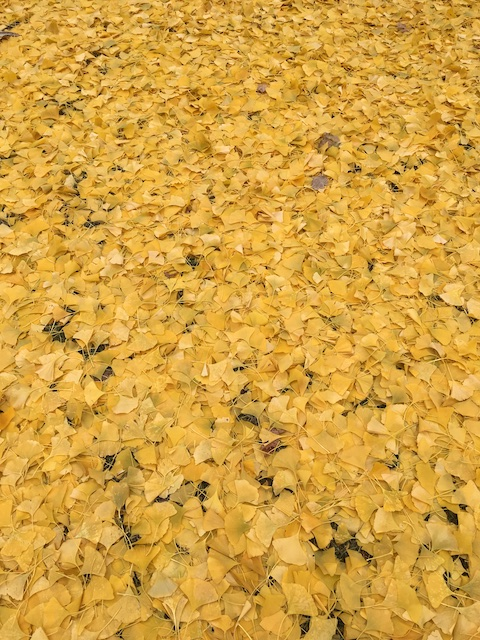 Yellow ginkgo leaves on the ground