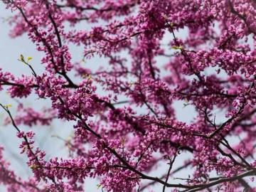 Branches of a flowering tree