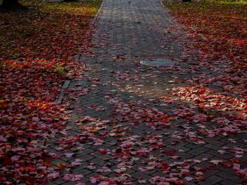 pathway with fall leaves.