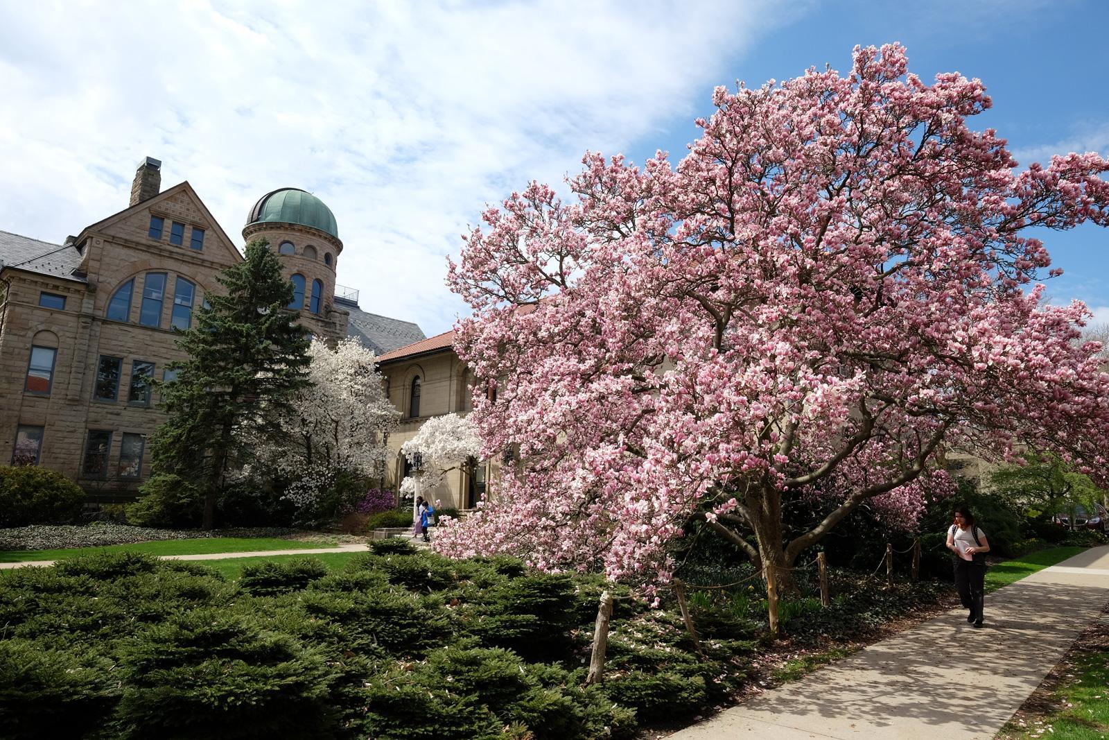 Campus scenery: flowering trees in spring.
