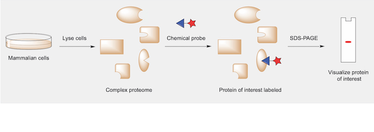In this representative activity-based protein profiling (ABPP) workflow, mammalian cells are lysed to generate a complex mixture of proteins. The mixture is treated with a chemical probe containing a tag for visualization. The probe binds to the protein of interest in the mixture, and the labeled protein can be visualized following gel electrophoresis.