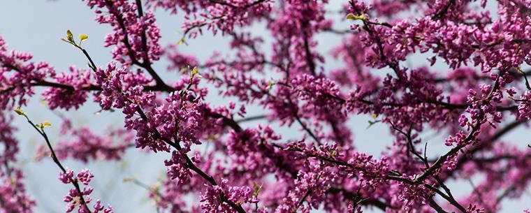 flowering tree in springtime