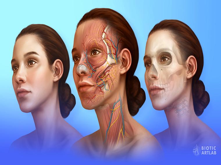 A medical illustration with three faces. Two of the faces reveal the human anatomy of a face.