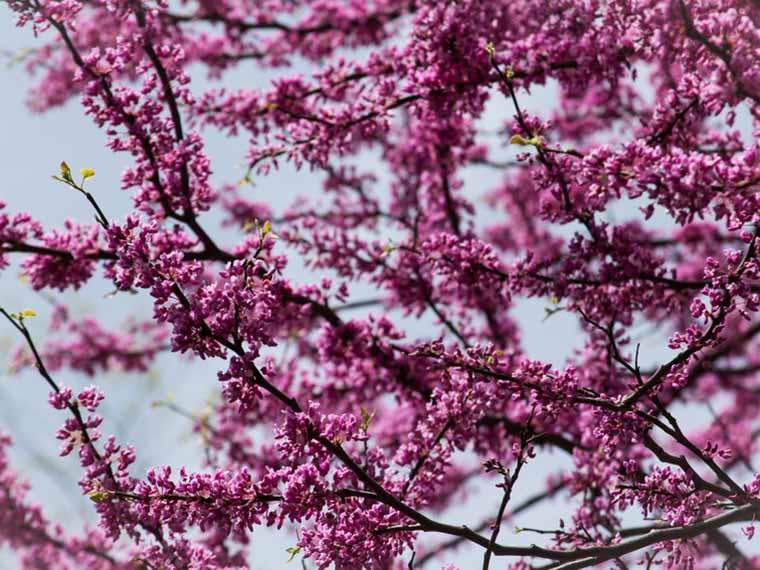 Tree branches with pink buds