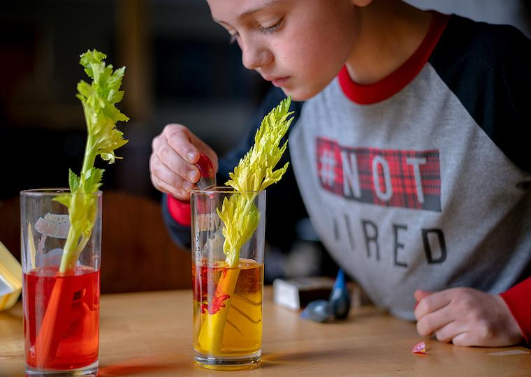 A child drops red dye into a glass with water and a celery stick.