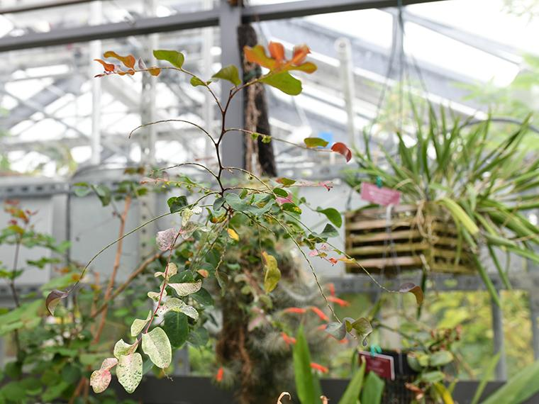 Hanging plants in the Oberlin Science Center greenhouse.