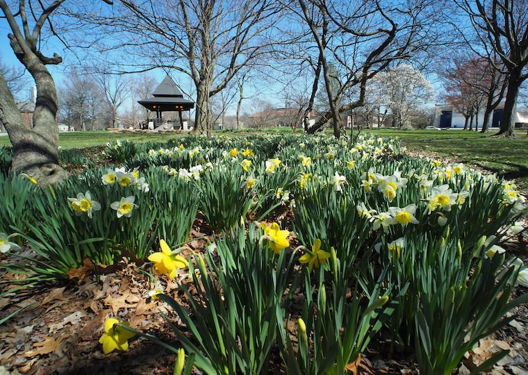A crop of daffodils in a park.